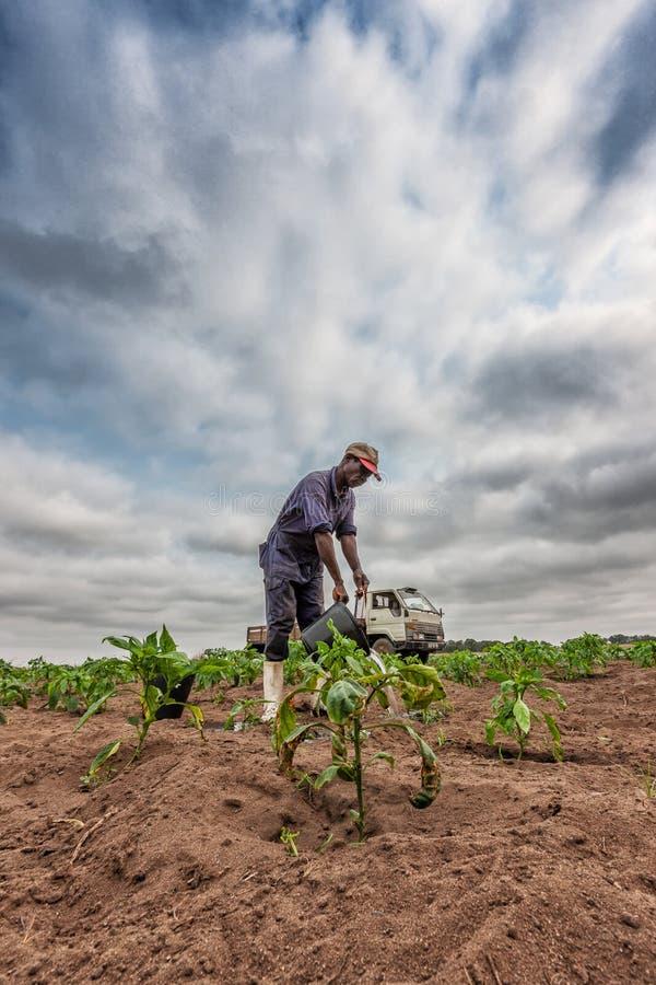 CABINDA/ANGOLA - 9 de junho de 2010 - plantação molhando do fazendeiro africano, Cabinda angola imagem de stock royalty free