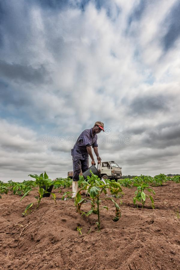 CABINDA/ANGOLA - 09 JUN 2010 - African farmer watering planting, Cabinda. Angola. Industry royalty free stock image