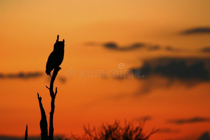 Cabo Eagle Owl Sunset foto de stock