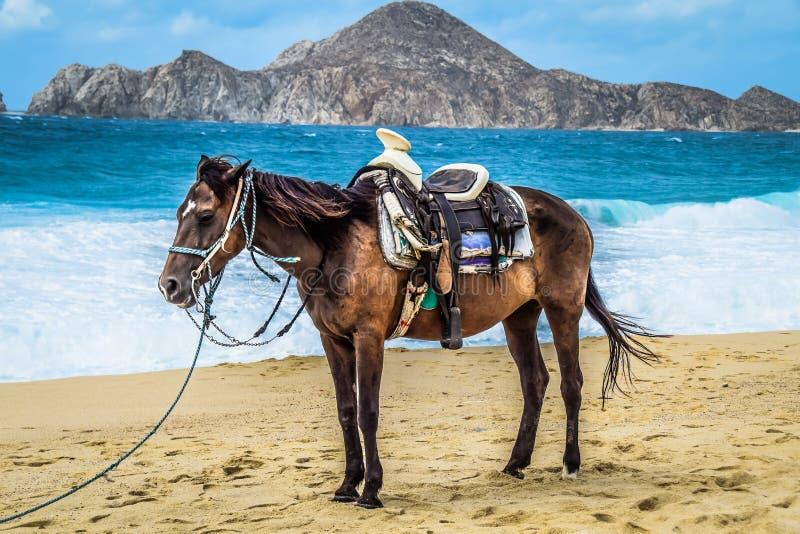 Cabo-Pferd stockfoto