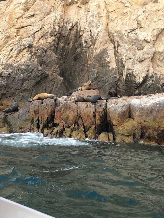 Cabo San Lucas Sea Lions arkivfoton