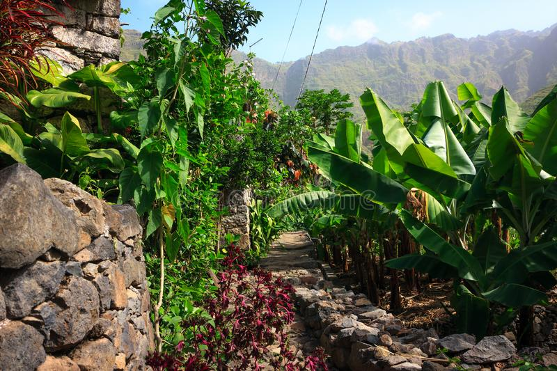 Banana jungle in Cabo Verde royalty free stock image