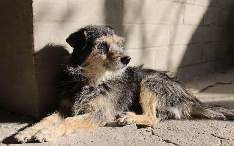 Cabot, chien d'arrière-cour photos stock