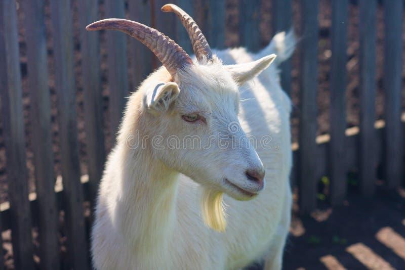A cabra é branca um legendário imagens de stock royalty free