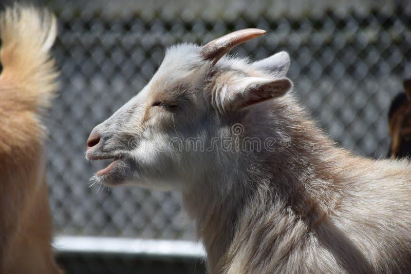 Cabra africana do pigmeu (hircus da cabra) imagens de stock