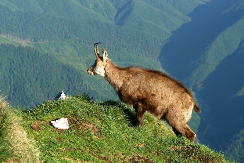 Cabra alpina fotografía de archivo