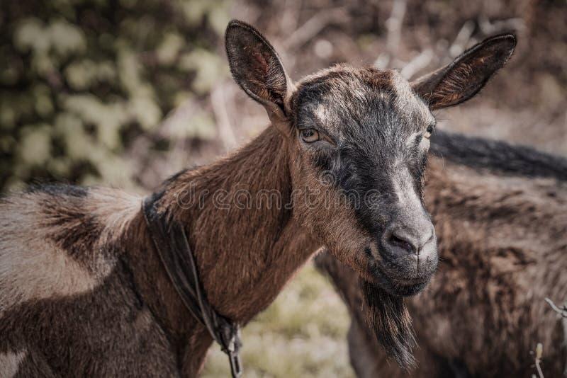 Cabra alpina en el pasto imagen de archivo libre de regalías