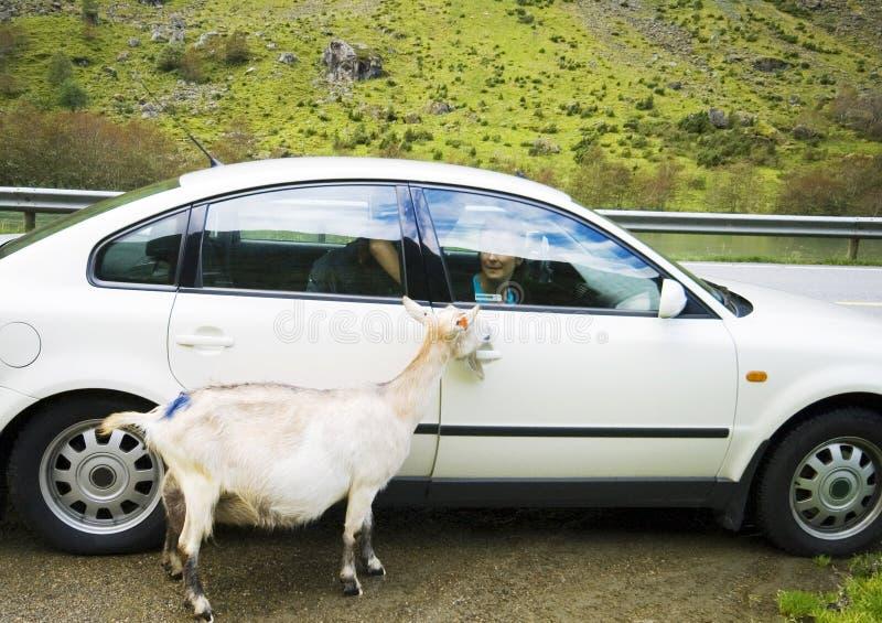 Cabra blanca en el borde de la carretera fotos de archivo libres de regalías