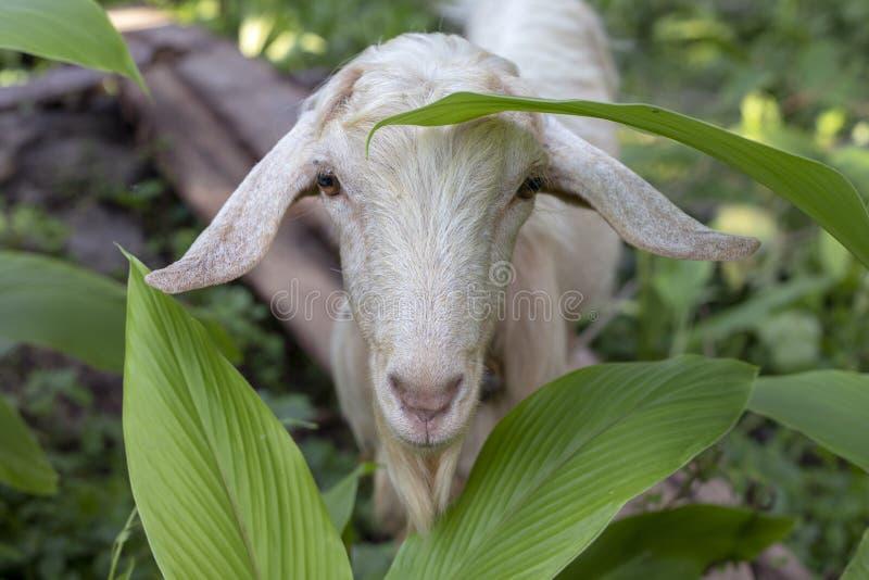 Cabra blanca en jardín del verano Foto animal mullida linda Retrato del animal del campo Cabra curiosa que mira en cámara fotos de archivo libres de regalías