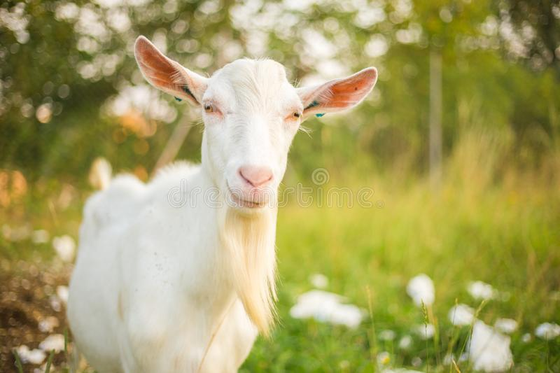 Cabra blanca joven con la barba Animal del campo en un fondo de la hierba verde imagenes de archivo