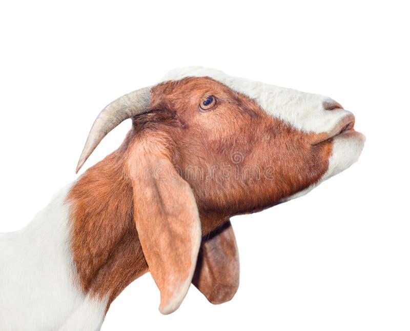 Cabra blanca y roja hermosa, linda, joven aislada en el fondo blanco Animales del campo Intento divertido de la cabra para besar  imágenes de archivo libres de regalías