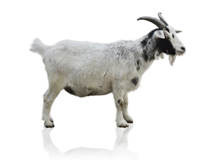 Cabra blanco y negro fotografía de archivo