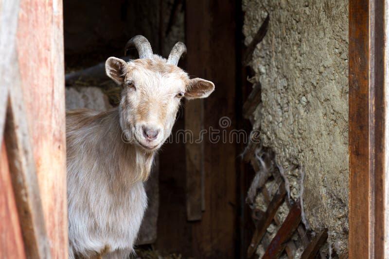 A cabra branca adulta com chifres torcidos olha fora das portas do celeiro, vida na exploração agrícola imagens de stock