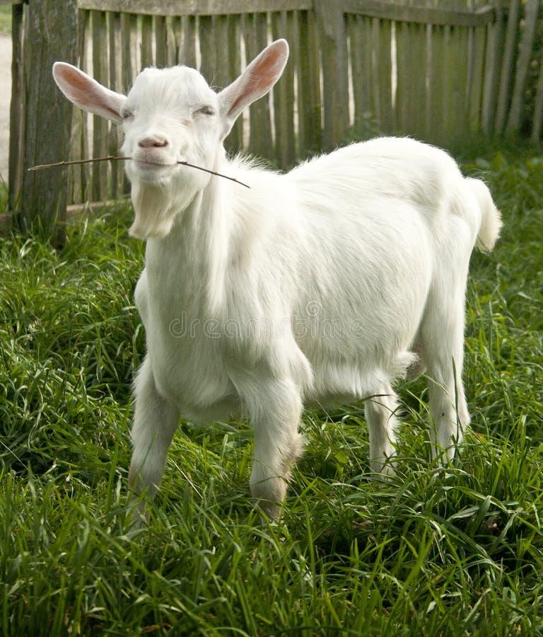 Cabra branca bonito que yeanling imagem de stock