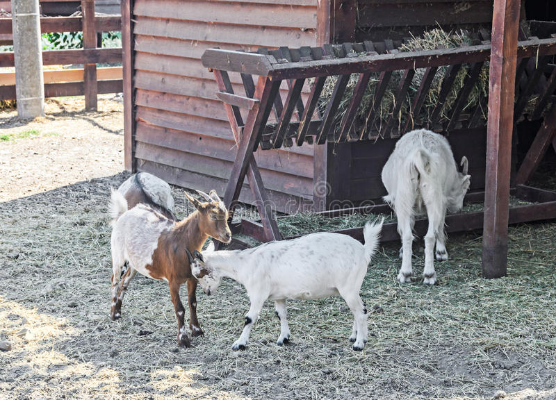 A cabra branca caçoa o jogo, goatling, exterior fotografia de stock royalty free