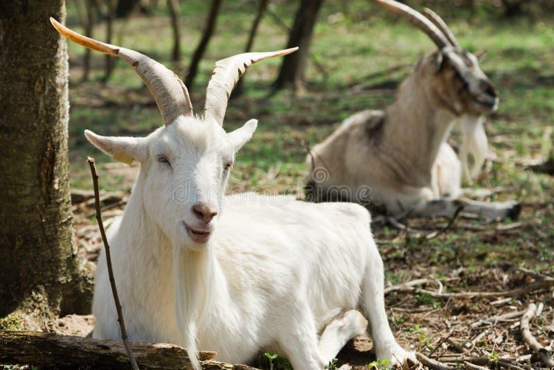Cabra branca com os chifres grandes que encontram-se na grama na bio exploração agrícola ecológica imagens de stock royalty free