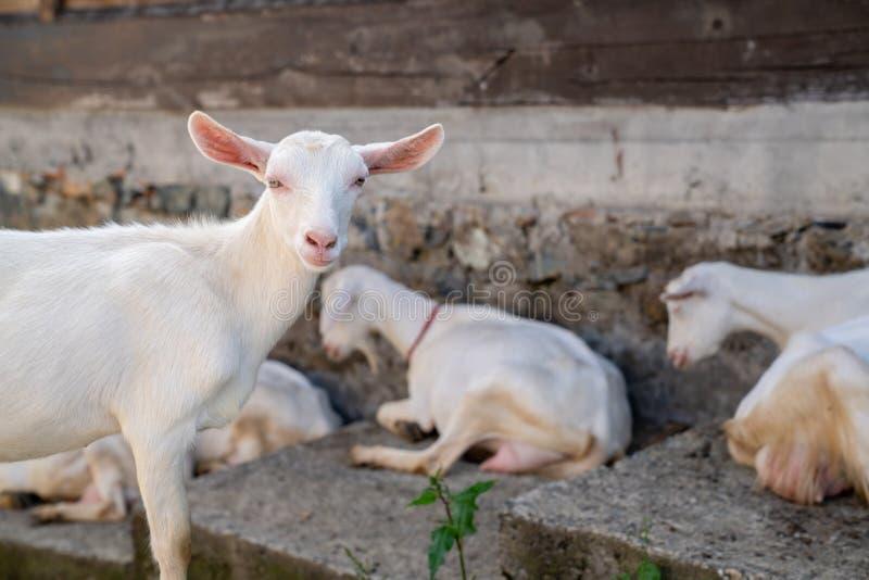 Cabra branca do close-up com as crianças no dia de mola ensolarado da casa da vila da jarda foto de stock royalty free