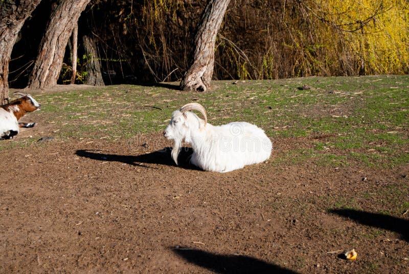 A cabra branca do russo fotografia de stock royalty free