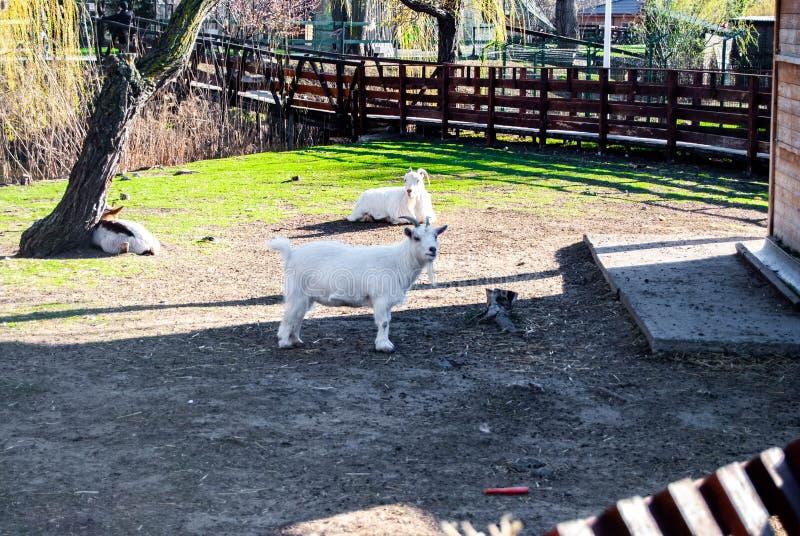 A cabra branca do russo fotos de stock royalty free