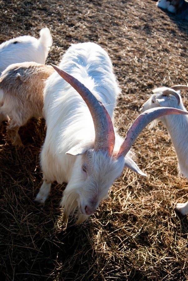 A cabra branca do russo fotos de stock