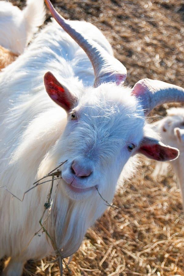 A cabra branca do russo imagem de stock royalty free
