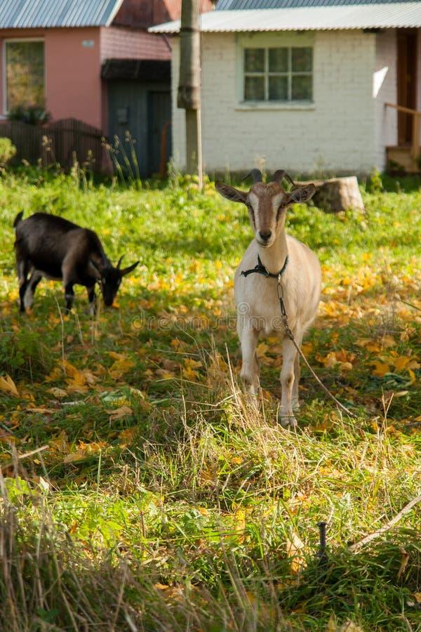 Cabra branca e marrom na vila na grama do outono Rancho ou exploração agrícola fotos de stock royalty free