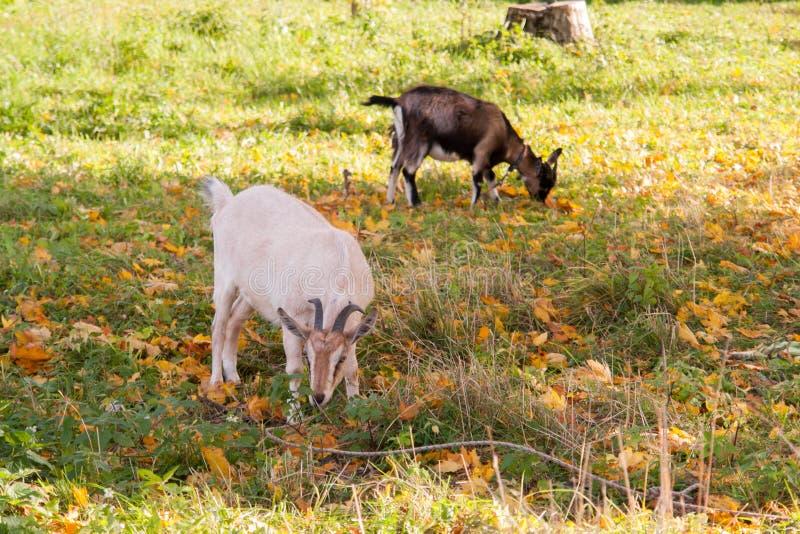 Cabra branca e marrom na vila na grama do outono Rancho ou exploração agrícola fotografia de stock