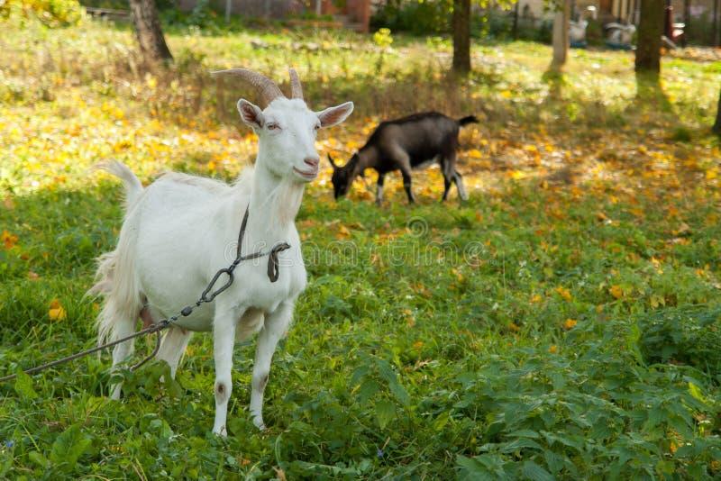 Cabra branca e marrom na vila na grama do outono Rancho ou exploração agrícola foto de stock