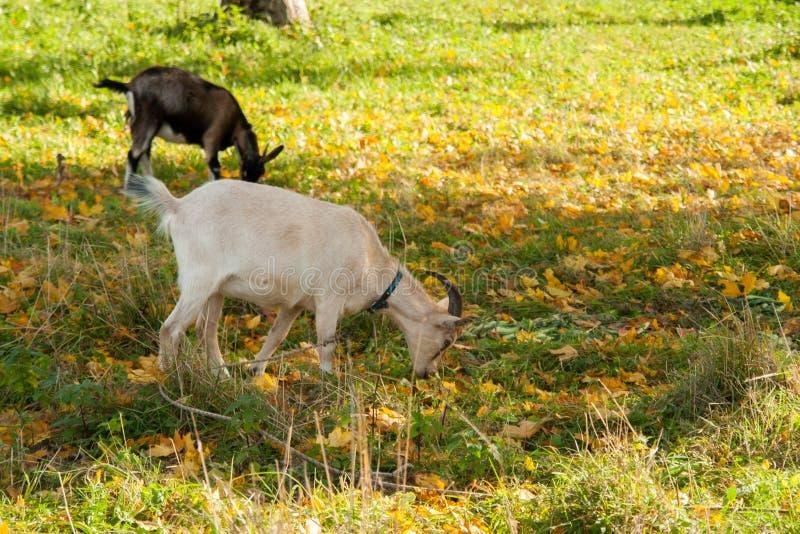 Cabra branca e marrom na vila na grama do outono Rancho ou exploração agrícola imagens de stock royalty free