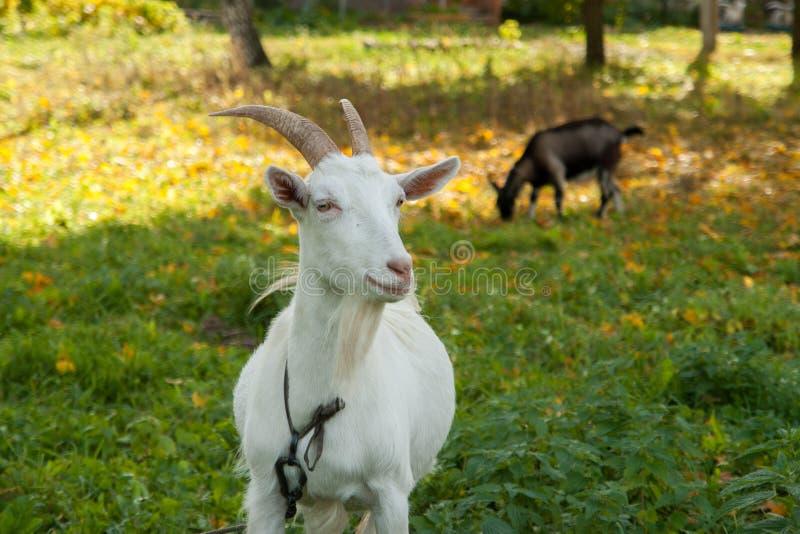 Cabra branca e marrom na vila na grama do outono Rancho ou exploração agrícola fotografia de stock royalty free