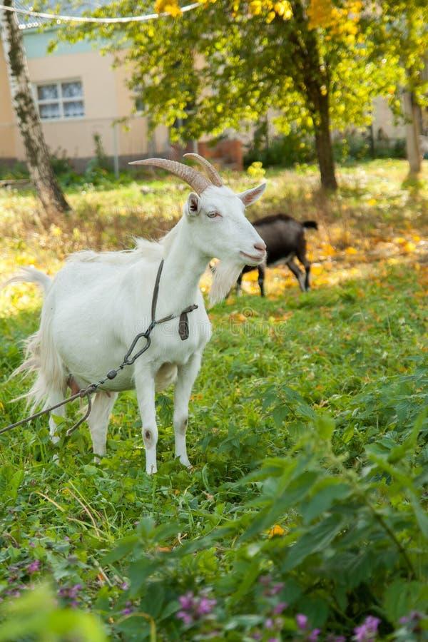 Cabra branca e marrom na vila na grama do outono Rancho ou exploração agrícola imagem de stock royalty free