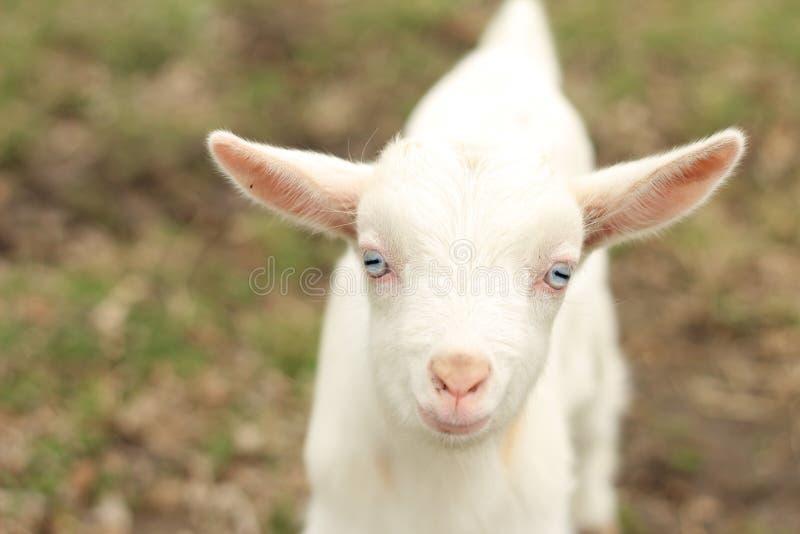 Cabra branca e preta do bebê foto de stock royalty free