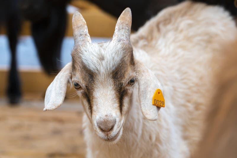 Cabra branca na exploração agrícola, vida feliz, bonito, imagens de stock