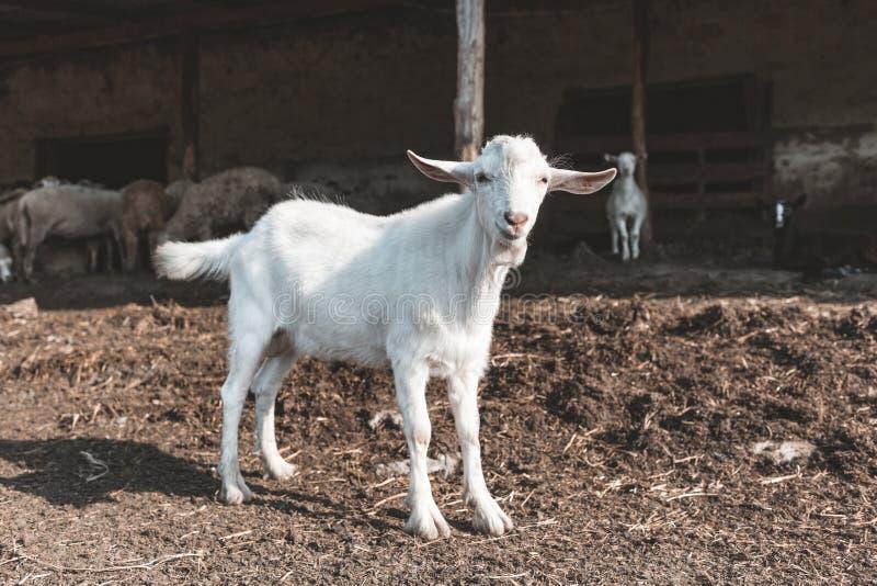 Cabra branca nova na exploração agrícola Fazenda de cria??o Ind?stria da carne imagens de stock royalty free
