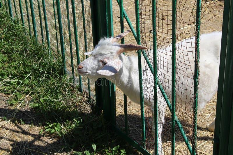A cabra branca olha para fora atrás de uma cerca em uma exploração agrícola, cabra branca em fazendas de criação, animais imagem de stock royalty free