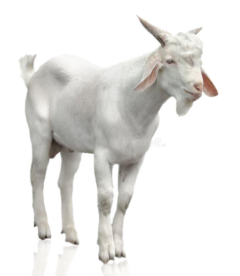 Cabra branca selvagem fotos de stock royalty free