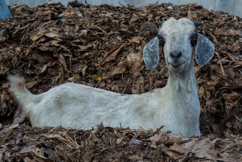Cabra cinzenta com os chifres pequenos que olham na câmera fotografia de stock