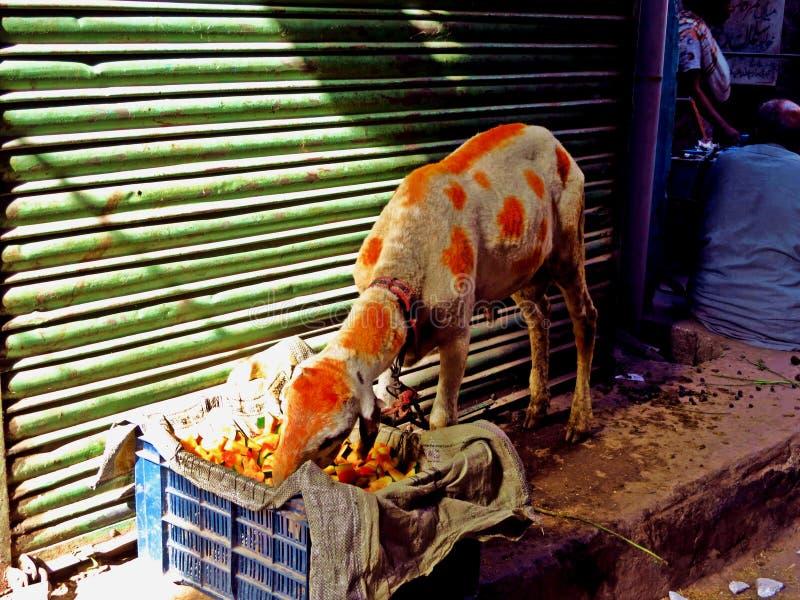 cabra coloreada con alheña en las calles de Lahore, Paquistán foto de archivo