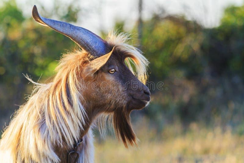 Cabra com cabelo longo e os chifres longos fotografia de stock