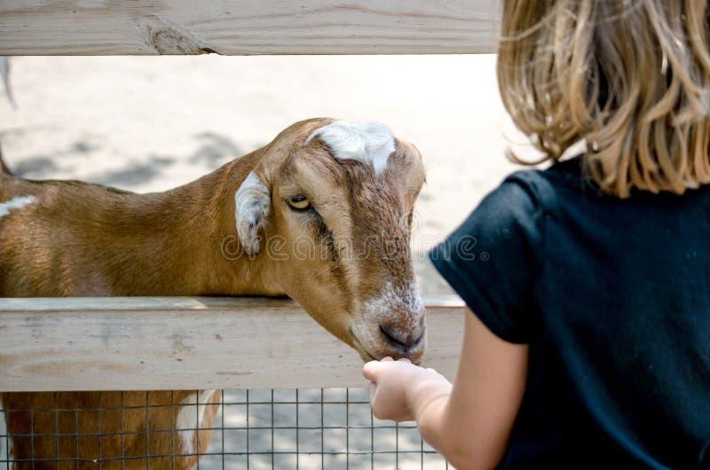 Cabra com fome em um jardim zoológico de trocas de carícias fotografia de stock
