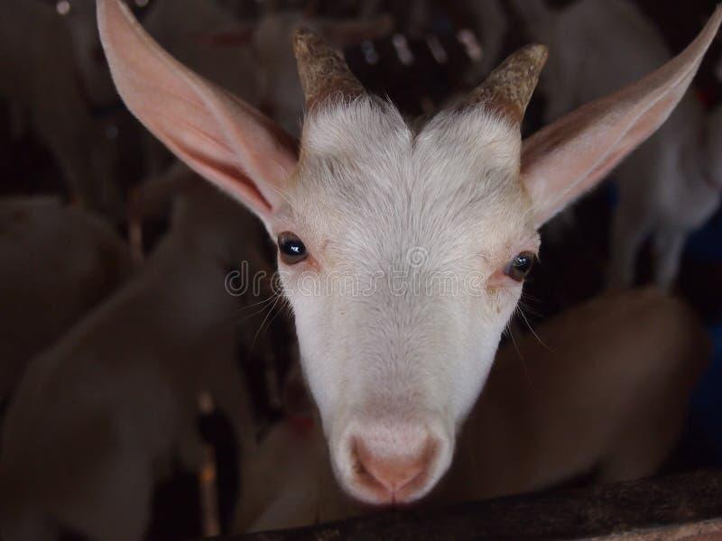 Cabra com olhado fixamente curiosamente fotos de stock