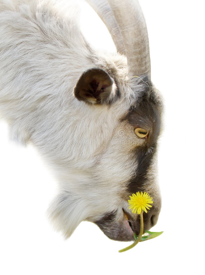 Cabra com uma flor imagens de stock royalty free