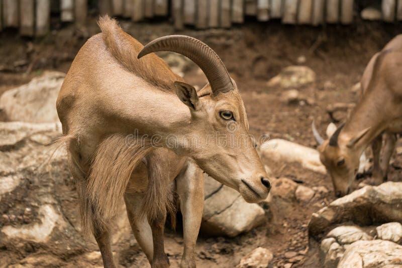Cabra con los cuernos en parque zoológico normalmente en áreas de montaña pero a veces en las granjas para su leche o carne imagenes de archivo