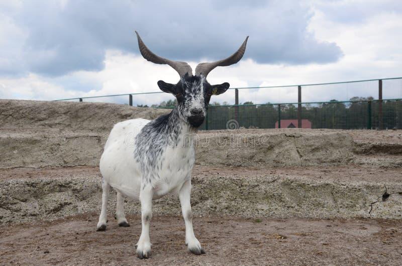 Cabra con los cuernos grandes foto de archivo libre de regalías