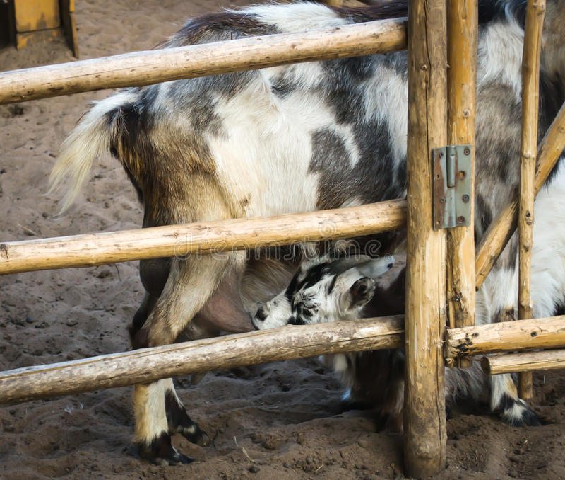 A cabra da criança suga o leite foto de stock royalty free