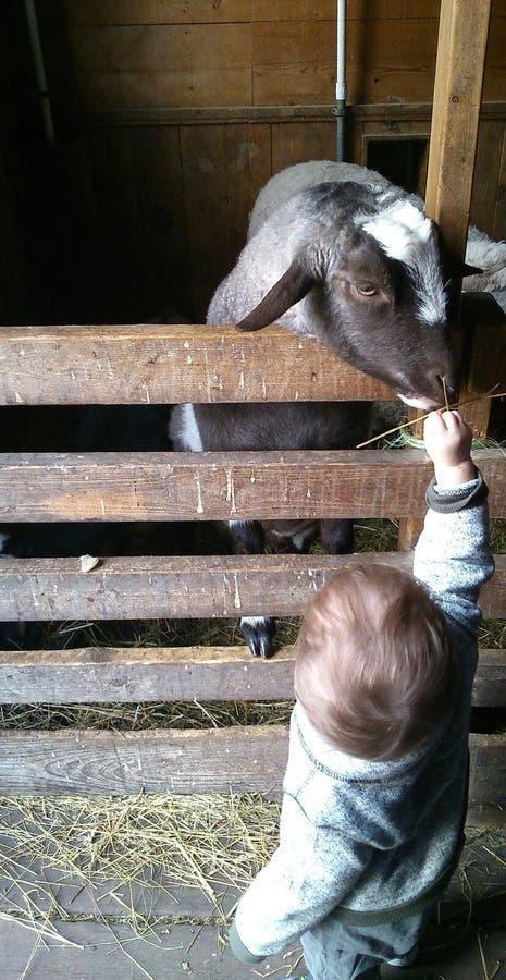 Cabra de alimentación del niño foto de archivo libre de regalías