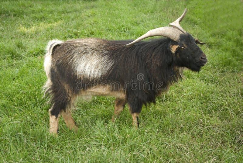 Cabra de Arapawa Billy imagem de stock