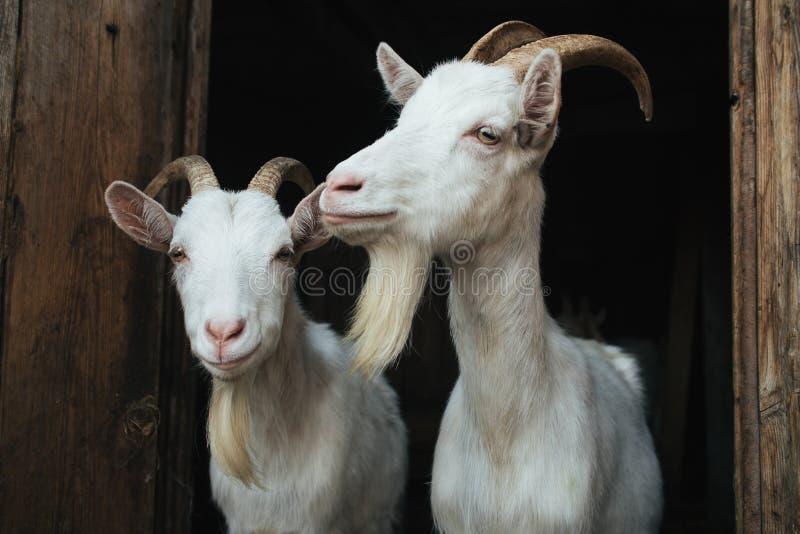 Cabra de dois brancos na entrada imagem de stock
