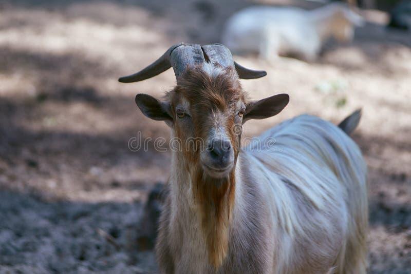 Cabra de Extured con una barba marrón, gris larga y cuernos largos imágenes de archivo libres de regalías