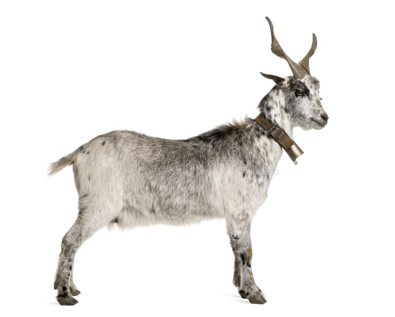Cabra de la correría, 5 años, colocándose delante del fondo blanco imagenes de archivo